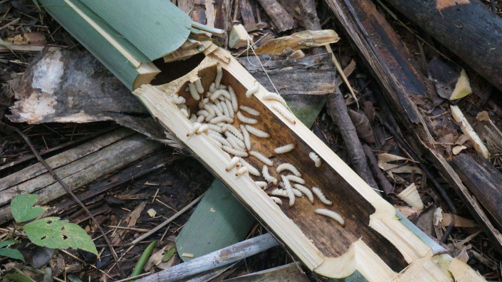 Vers de bambou