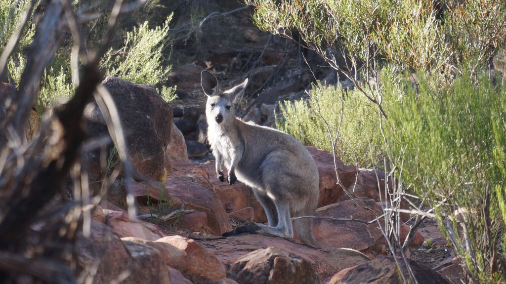 Wallaby Flinders Range