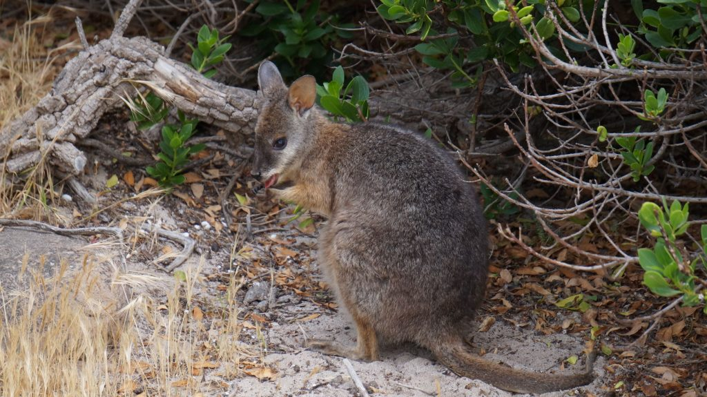 Wallaby sur Kangaroo Island