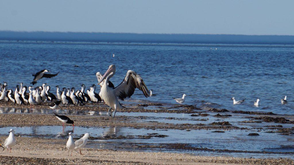 Pelican Kangaroo Island