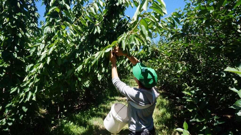 picking cerises