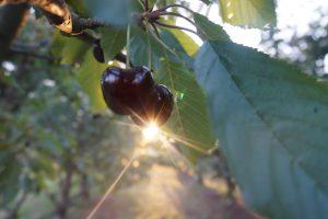 Travailler en Australie Part.1 : les cerises