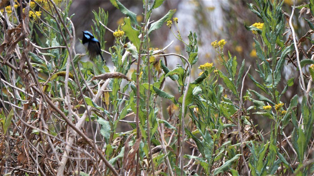 splendid blue fairy wren à Kangourou Island