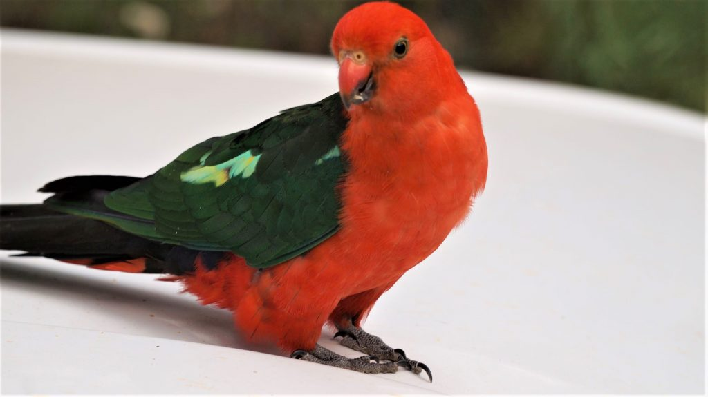 King Parrot Perruche royale male