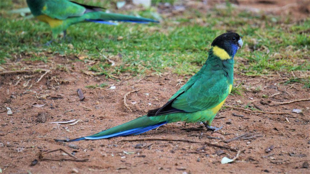 Perruche à collier jaune Australian Ringneck Parrot