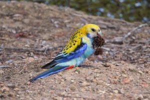 Oiseaux australiens : les perroquets, perruches, cacatoès…