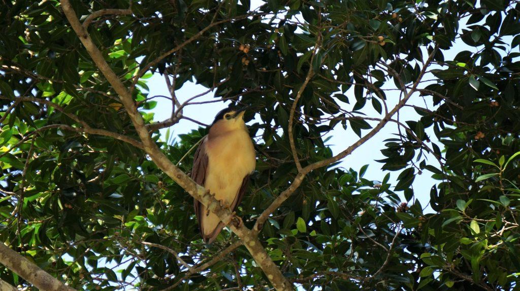 Bihoreau Canelle Nankeen night heron