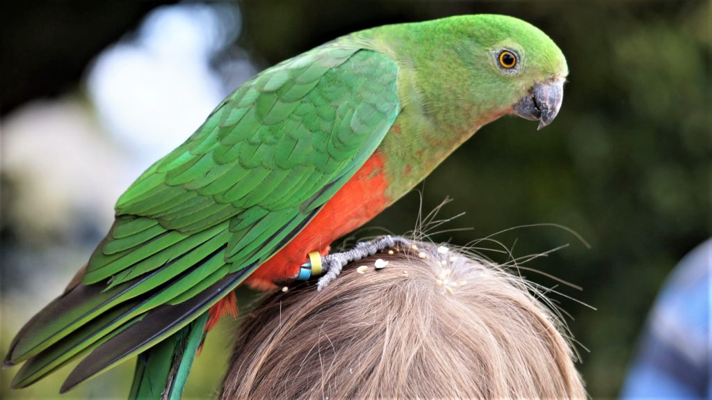 King Parrot Perruche royale female