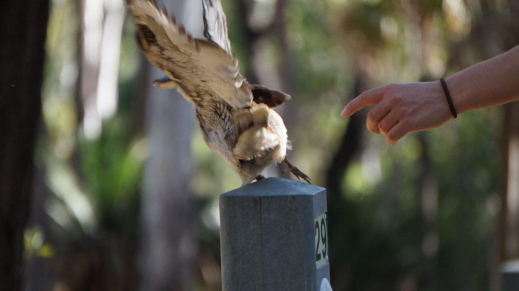 kookaburra australie